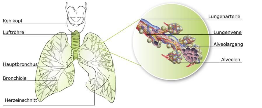 Anatomie der unteren Atemwege